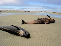 Dead whales lie on the beach at Farewell Spit on New Zealand's South Island