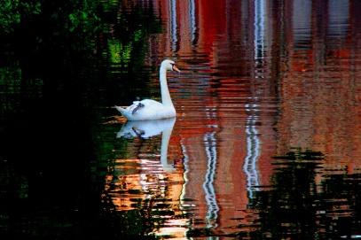 cisne de BrujasA
