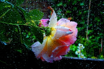 rosa tristeA