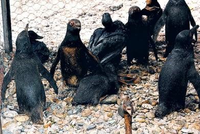 Contaminación de pinguinos con petróleo