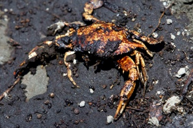 An oil covered crab is seen along with oil washed ashore from the Deepwater Horizon spill, Wednesday, June 9, 2010, in Belle Terre, La. (AP Photo/Eric Gay)