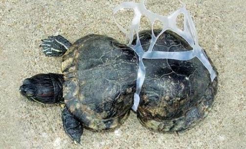 Tortuga víctima del plásticos